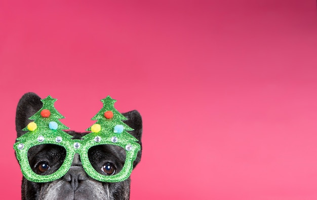Cute french bulldog with christmas glasses pokes his head