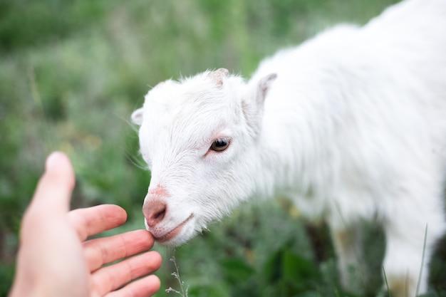 초원의 푸른 잔디에 귀여운 친절 흰색 아기 염소.