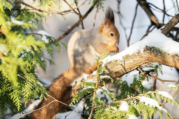 Милая забавная пушистая хвостатая евразийская рыжая белка сидит на ветке дерева в зимнем снегу