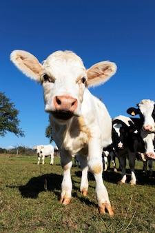 夏の農地でかわいい面白い子牛