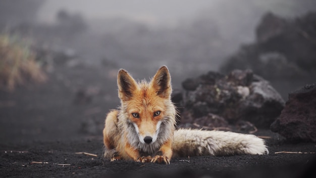 Cute funny fox looks at the camera lies down and stretches fox in the wild kamchatka russia