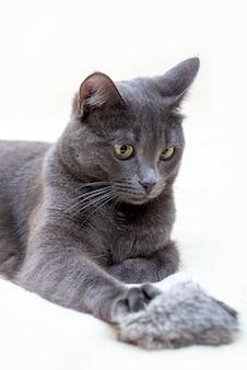 Милый забавный серый кот лежит с пушистой игрушкой на светлой поверхности