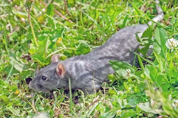 Милая смешная серая крыса в зеленой траве на лугу, крупным планом