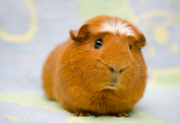 Cute funny guinea pig against a bright