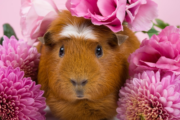 Cute funny guinea pig among beautiful pink flowers