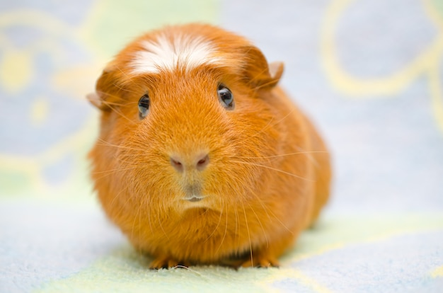 Cute funny-looking guinea pig