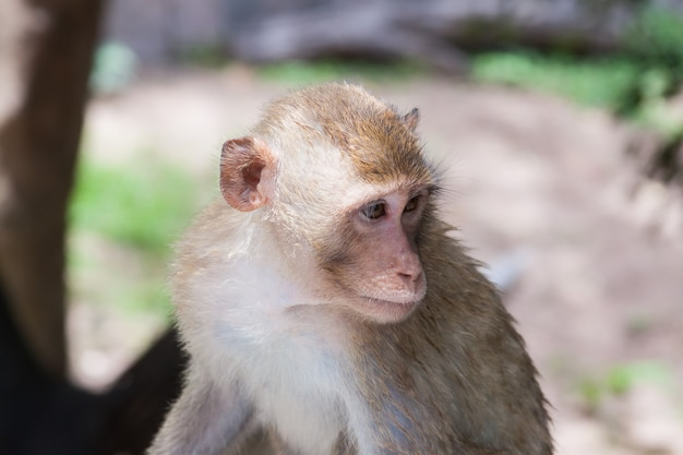 Cute funny monkey face portrait view in natural forest of thailand extreme closeup