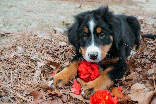 Милый забавный щенок бернского зенненхунда, лежащий на улице возле крыльца дома