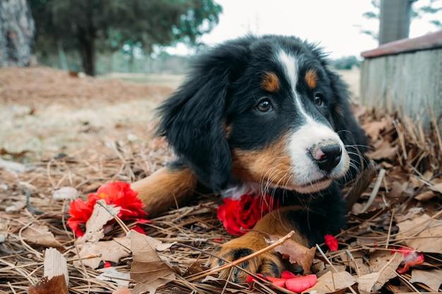 家のポーチの近くの外に横たわっているかわいい面白い子犬バーニーズマウンテンドッグ
