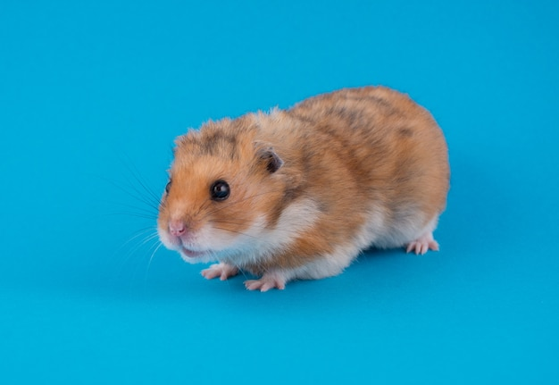 Cute funny syrian hamster (on a blue background)