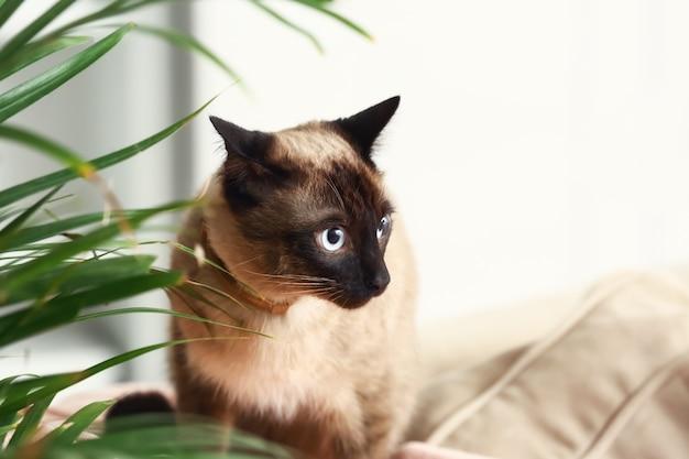 Милый забавный тайский кот дома