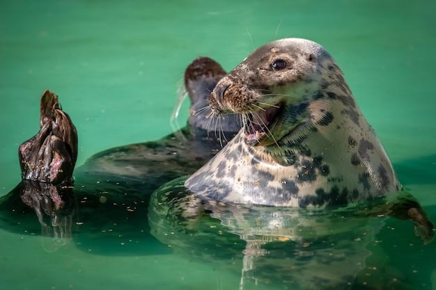 Милый морской котик улыбается и плавает в воде. забавное лицо. довольное животное. большие глаза, длинные усы. вода зеленая.