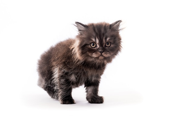 Cute furry dark kitten looking aside isolated on white background
