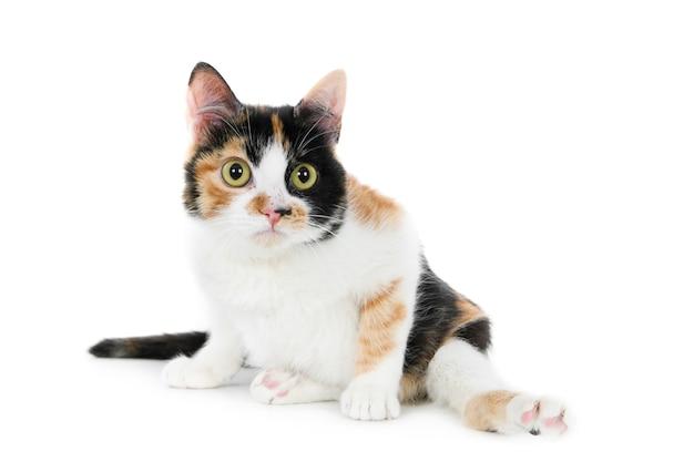 足を開いた状態で白い表面に座っているかわいい毛皮のような障害のある飼い猫