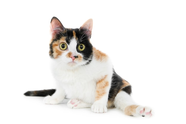 Cute furry disabled domestic cat sitting on a white surface with its legs open