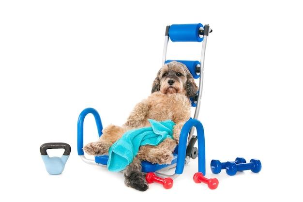 Милая пушистая собака лежит на спине на синем тренажере с гантелями вокруг