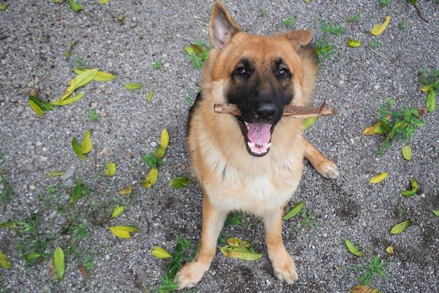 Cute german shepherd dog