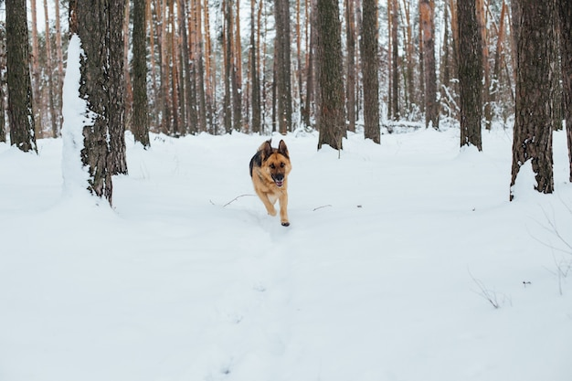 Милая немецкая овчарка в снежном лесу зимой
