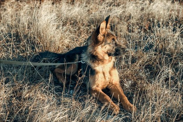 Cute german shepherd puppy on dry grass. dog in the field. autumn season. domestic animal.