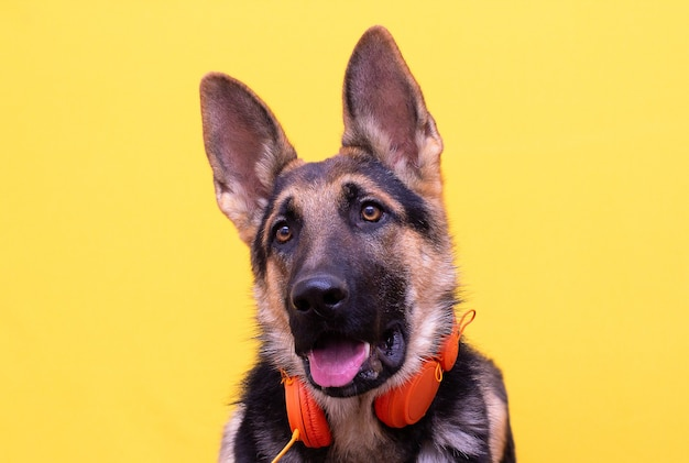 A cute german shepherd puppy in headphones isolated on yellow background