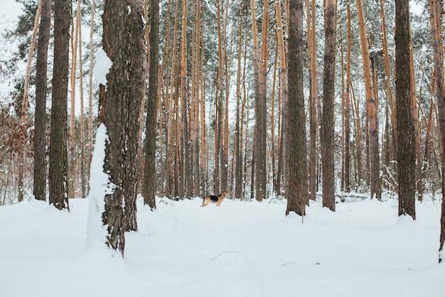 Simpatico pastore tedesco nella foresta di neve in inverno