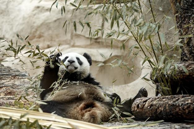 竹の枝を食べるかわいいジャイアントパンダ