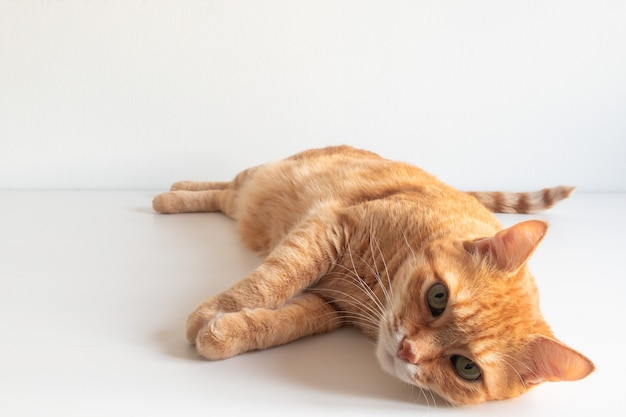 孤立したかわいい生姜猫