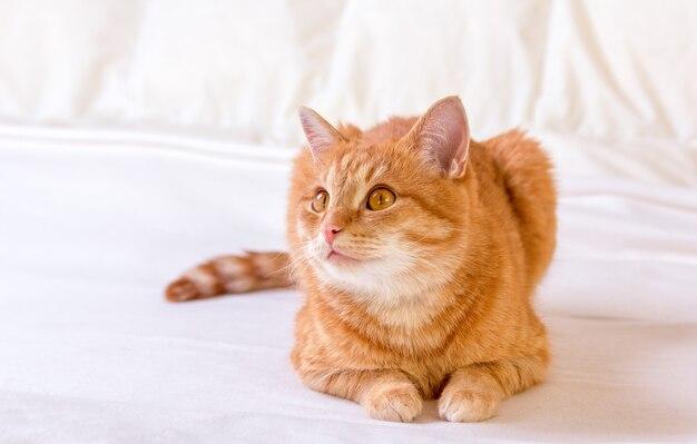 Милый рыжий кот лежит на одеяле на кровати у себя дома. кошка пристально смотрит на свою добычу. кот готов прыгнуть. домашний фон.