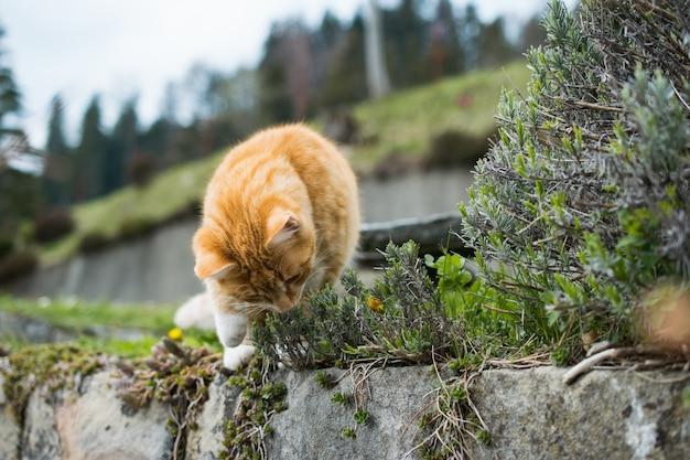 Милый рыжий кот играет с травой на скалах