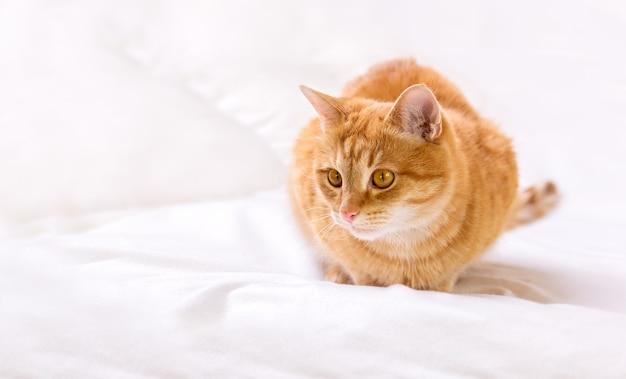 かわいい生姜猫が自宅のベッドに座っています。猫は獲物をじっと見つめます。
