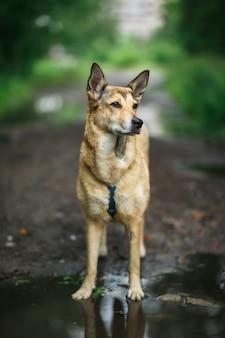 Милая рыжая собака стоит в луже