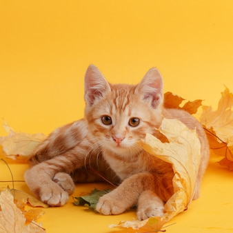Cute ginger kitten is playing with dry autumn leaves.
