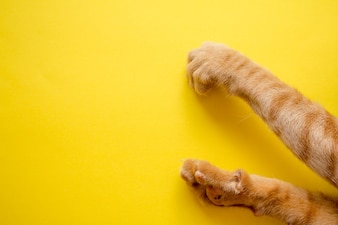Cute Ginger tabby cat's feets on yellow background