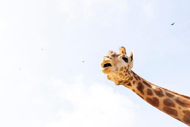 Cute giraffe under the blue sky