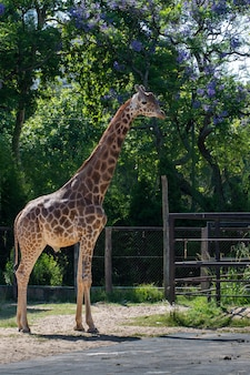 Cute giraffe standing under the trees inside the fencing