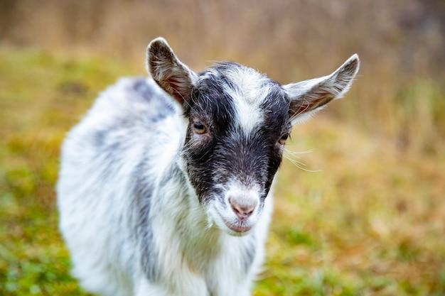 かわいいヤギの子がカメラを見ています。農場の白い赤ちゃんの角