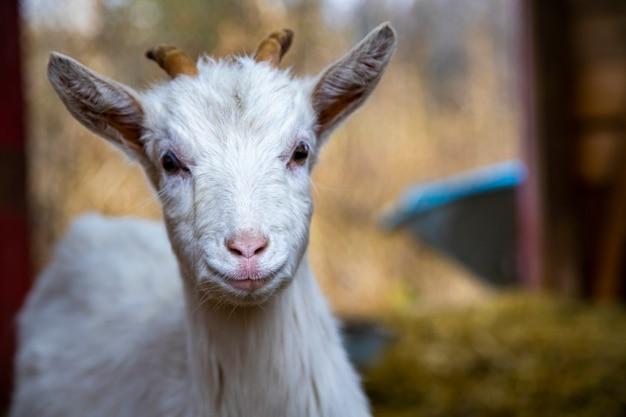 かわいいヤギの子は、農場でカメラの白い赤ちゃんの角を見ます