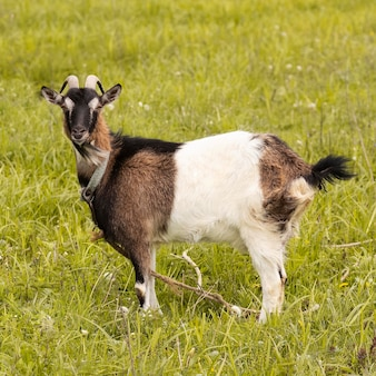 Cute goat on grass field