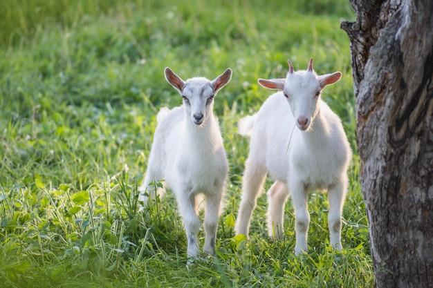 Симпатичная коза, пасущихся на траве. маленький ребенок коз. два маленьких козленка