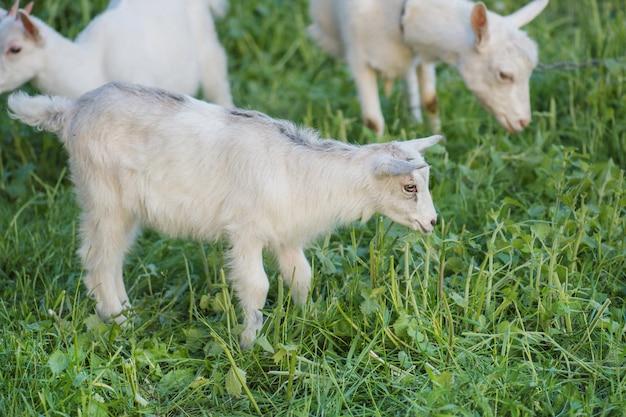 Симпатичная коза, пасущихся на траве. маленький ребенок коз. белые козы в поле