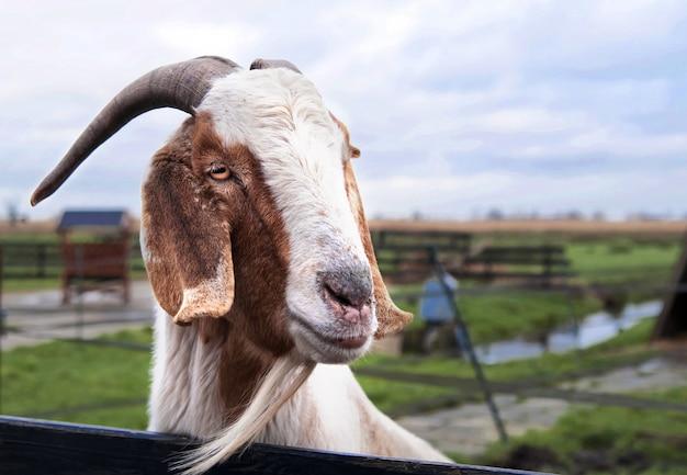 Симпатичная коза смотрит через забор