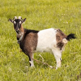 芝生のフィールドでかわいいヤギ