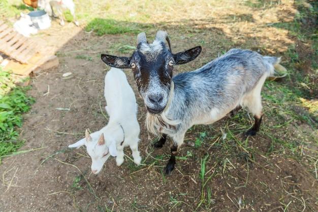 夏の日の牧場でくつろぐかわいい山羊。国内のヤギが牧草地で放牧し、噛んで、田舎の壁。牛乳とチーズを与えるために育つ自然のエコ農場のヤギ。