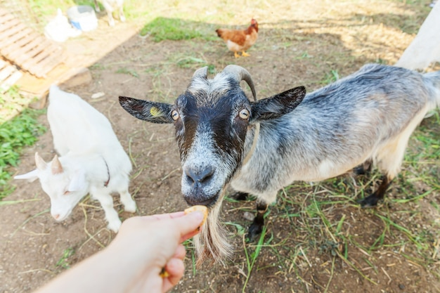 Cute goat relaxing in ranch farm in summer day eating with hand. domestic goats grazing in pasture and chewing. goat in natural eco farm growing to give milk and cheese.