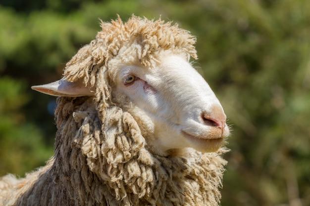 Cute goat at zoo or farm