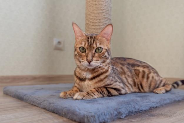 かわいい金色のベンガル子猫が床の引っかき棒の近くにあります