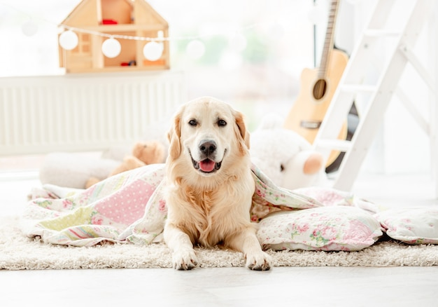 Cute golden retriever covered with blanket