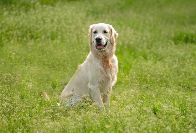 피 필드에 앉아 귀여운 골든 리트리버 강아지