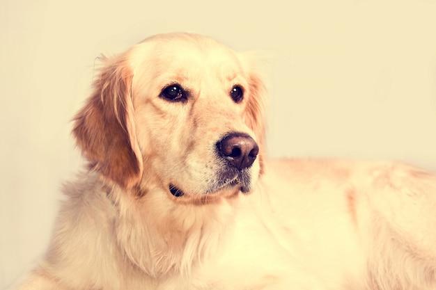 귀여운 골든 리트리버 강아지.