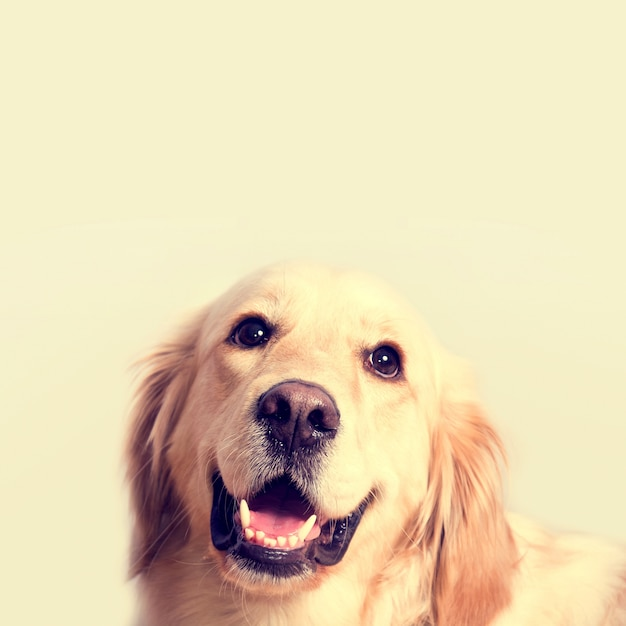 Download Pastel Anime Adorable Dog - cute-golden-retriever-dog_1204-387  2018_865717  .jpg?size\u003d338\u0026ext\u003djpg